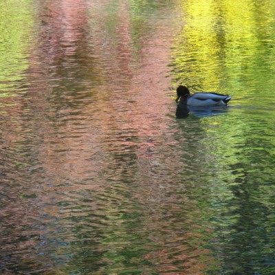 duck in colored water